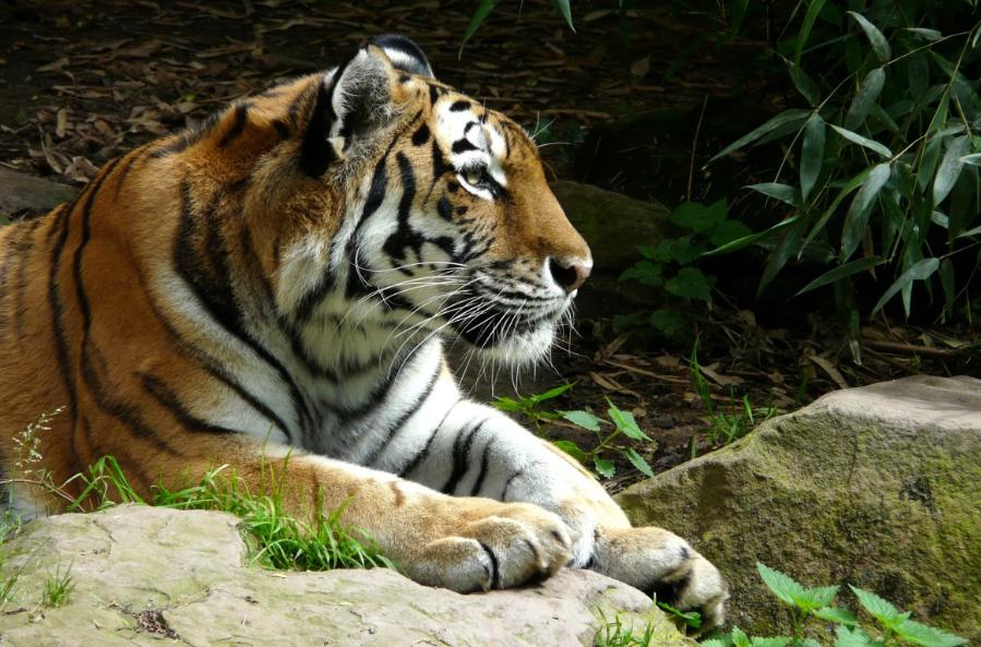 Rajasthan tigre