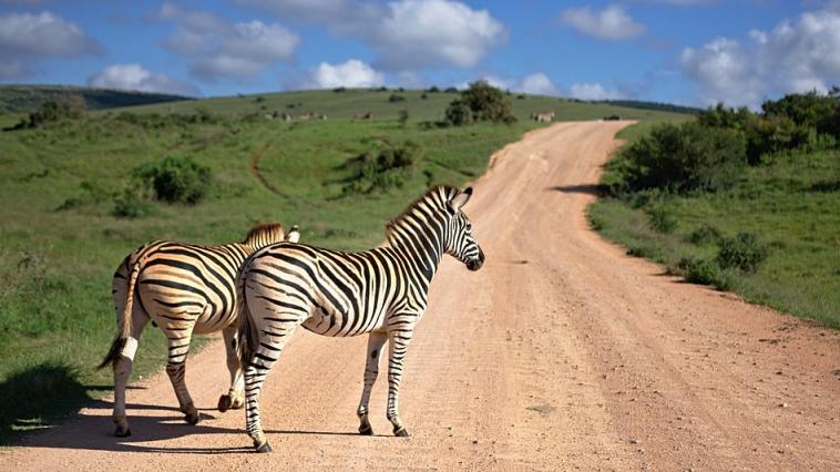 Afrique du Sud - Zèbres