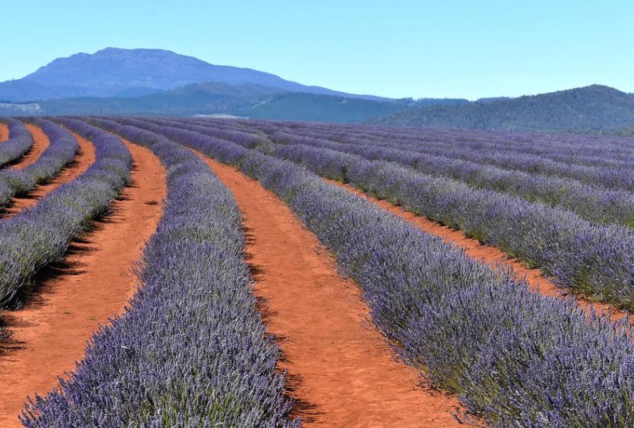 Champs de lavande, Tasmanie