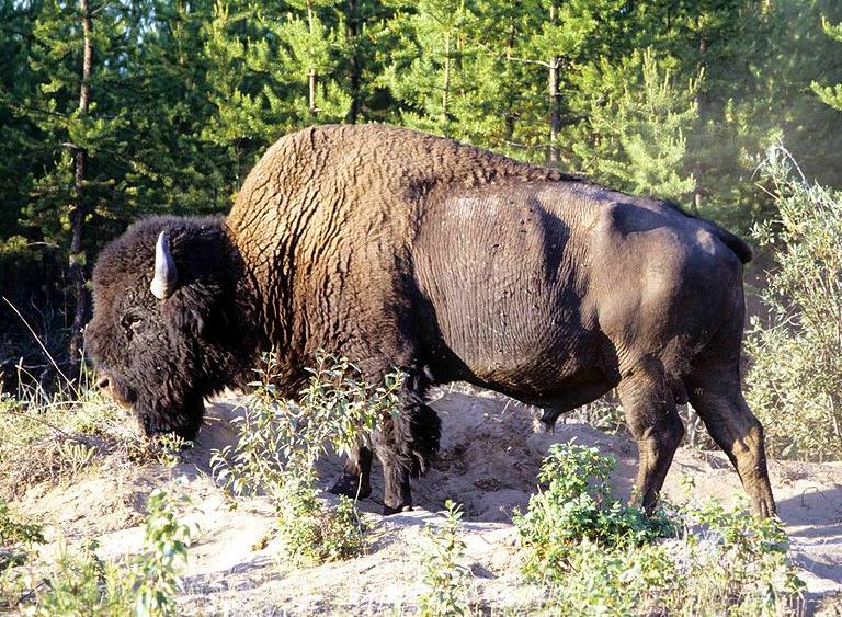 Canada Wood Buffalo
