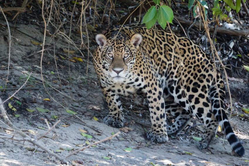 Jaguar, Pantanal Brésil