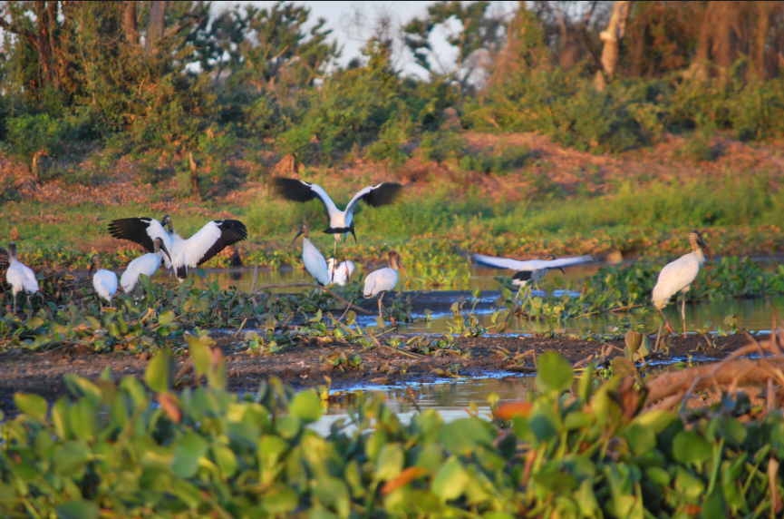 oiseaux Pantanal