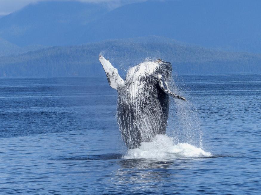 Baleine Pacifique