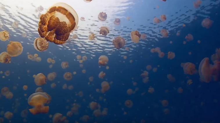 Lac aux méduses, Palaos