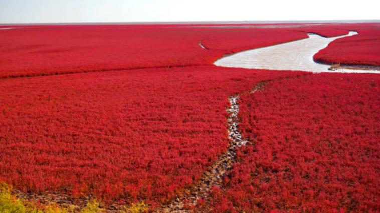 plage rouge de Panjin, Chine
