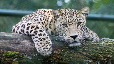 leopard inde bera cohabitation