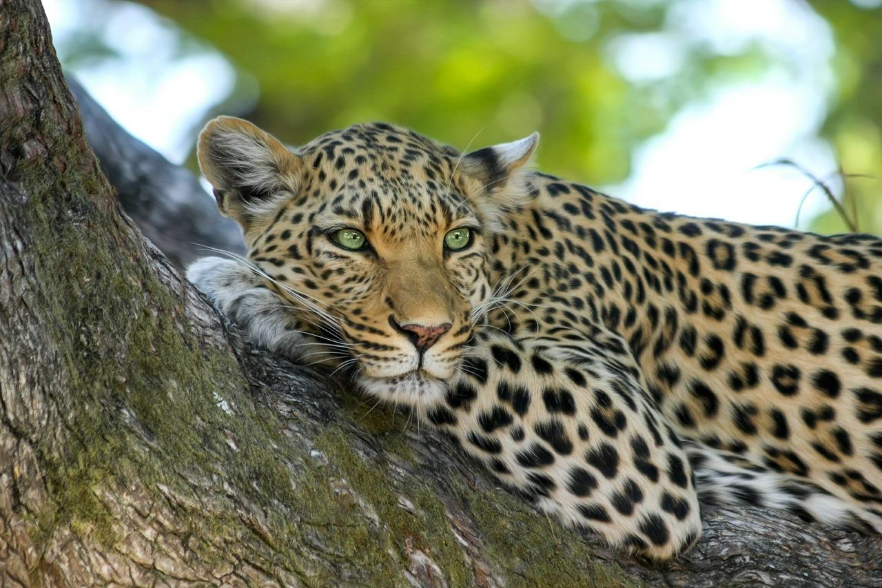 leopard bera