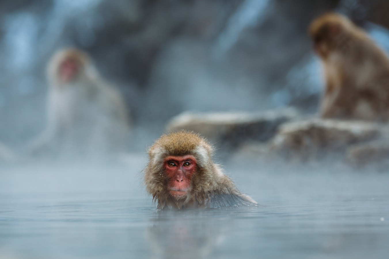 macaque iles japonaises