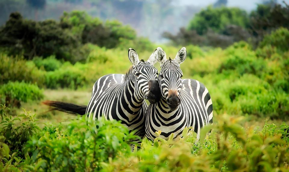 zebres kenya vallee du grand rift