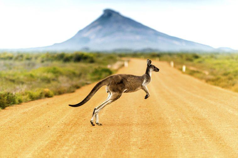 australie kangourou océanie désert faune flore